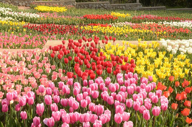 50 тыс. тюльпанов распустились вботаническом саду Крыма